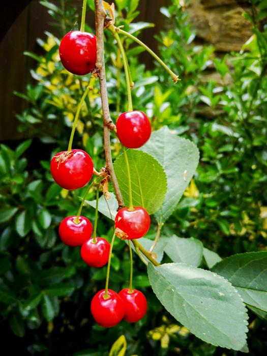 photoblog image Cherries