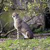 BoraÌŠs-Zoo-cheetah