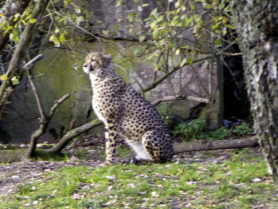 photoblog image BoraÌÃ'ÂÅs-Zoo-cheetah