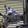 Borås-Zoo-giraffe