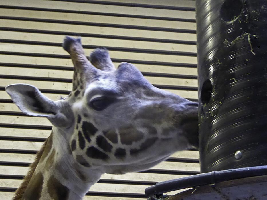 photoblog image BoraÃŒÂÅs-Zoo-giraffe