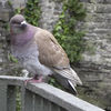 Conwy Castle - pigeon visitor