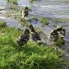Lake Sartai, Mallard ducks
