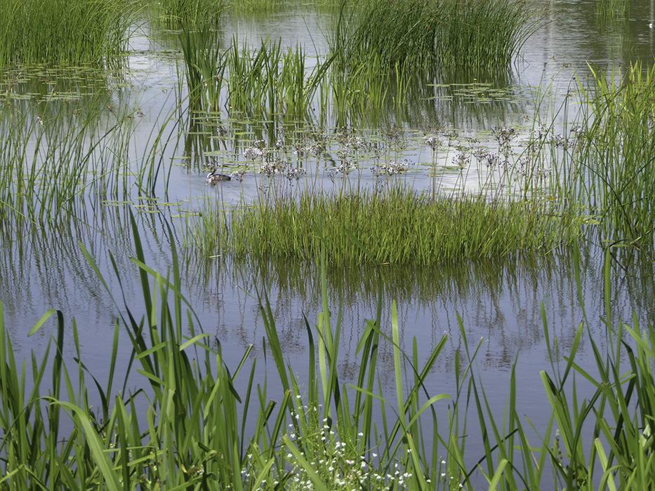 photoblog image Flowering reeds
