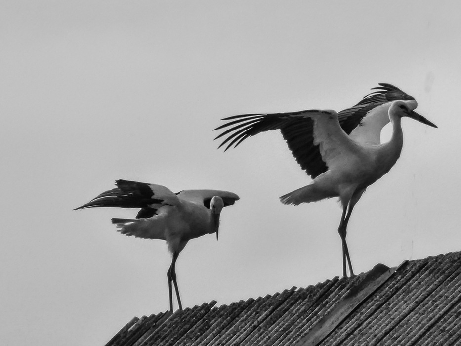 photoblog image Dusetos-storks on a barn roof