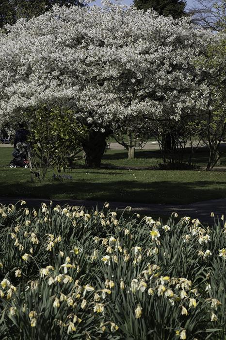 photoblog image Cherry blossom time