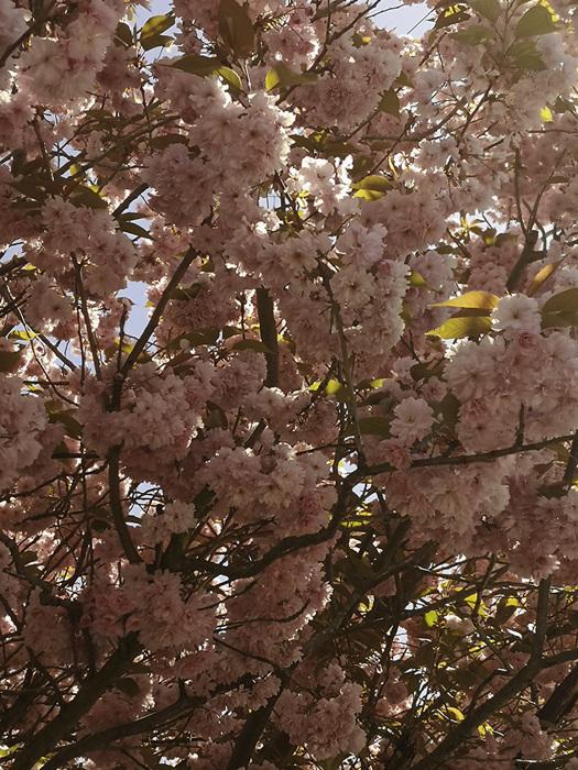 photoblog image Cherry blossom