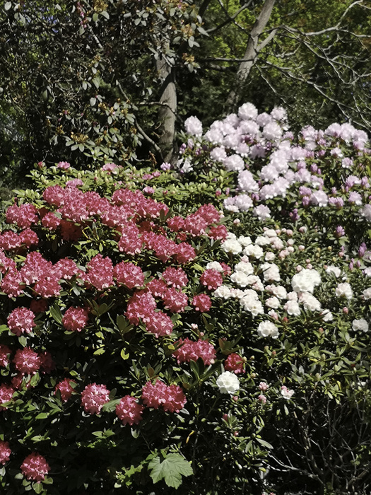 photoblog image Rhododendrons in the Gardens