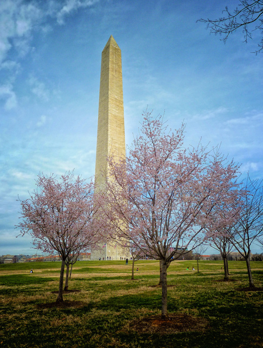 photoblog image Cherry blossom blooms at the Washington Monument