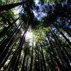 Redwoods in Arcata, California