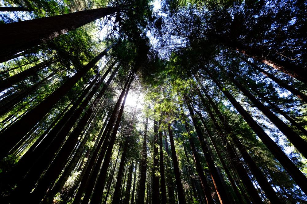 photoblog image Redwoods in Arcata, California