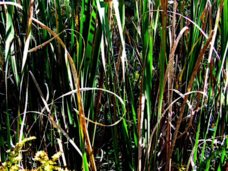 photoblog image cattails