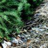 Christmas tree cemetery