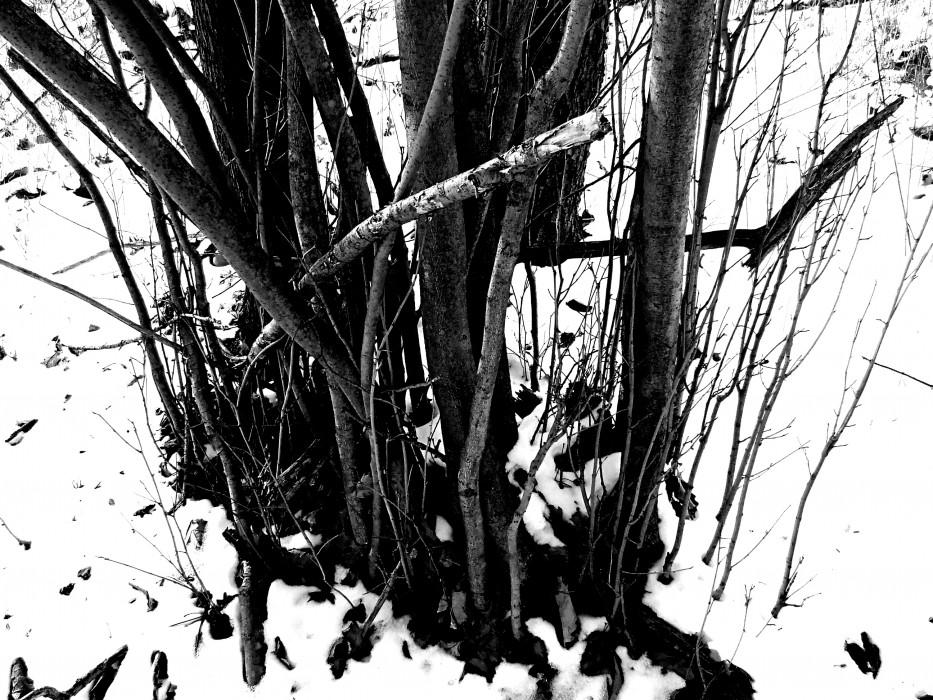 photoblog image witch hazel