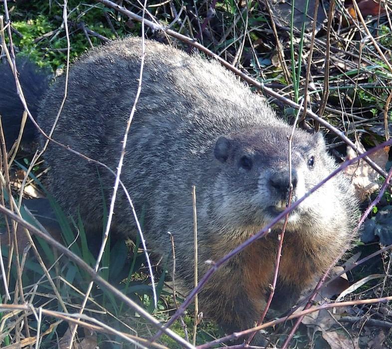photoblog image groundhog among black raspberry canes