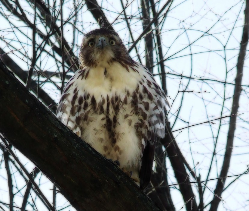 photoblog image red-tailed hawk