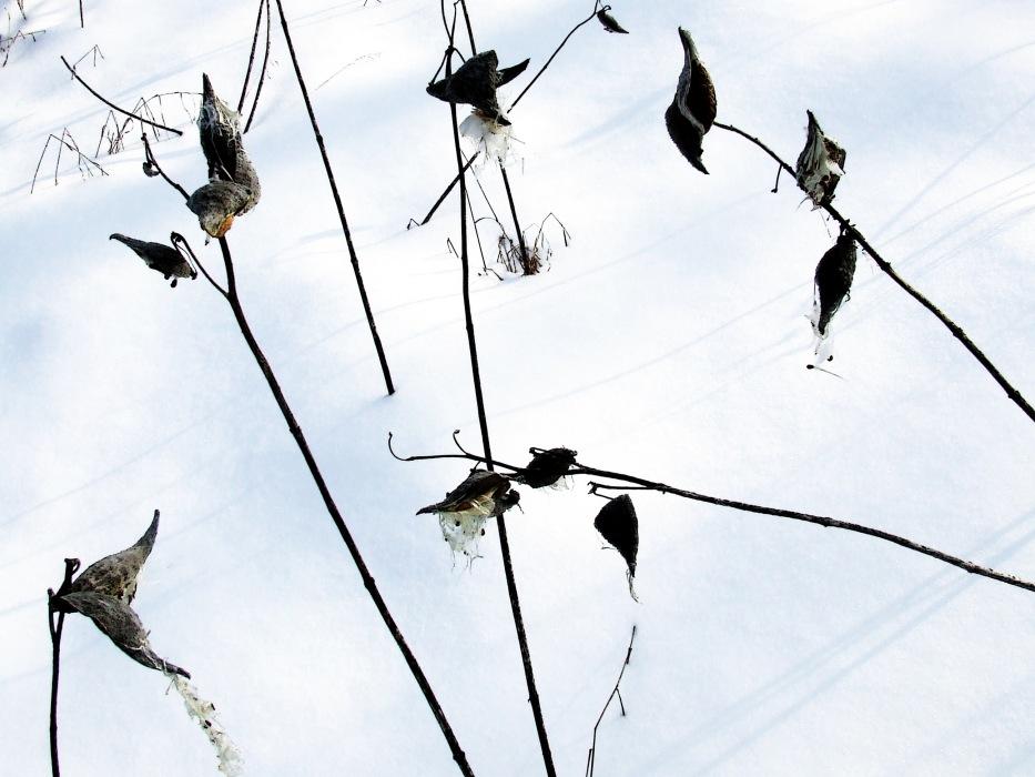 photoblog image milkweed in winter 1