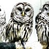three barred owls