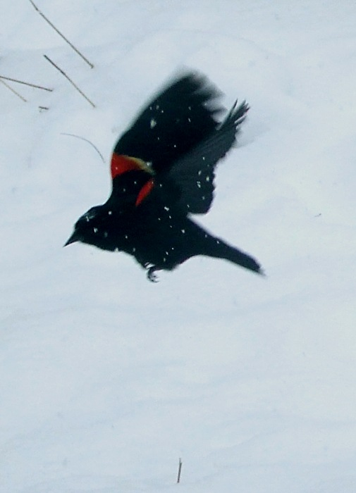 photoblog image red-winged blackbird in a snowstorm