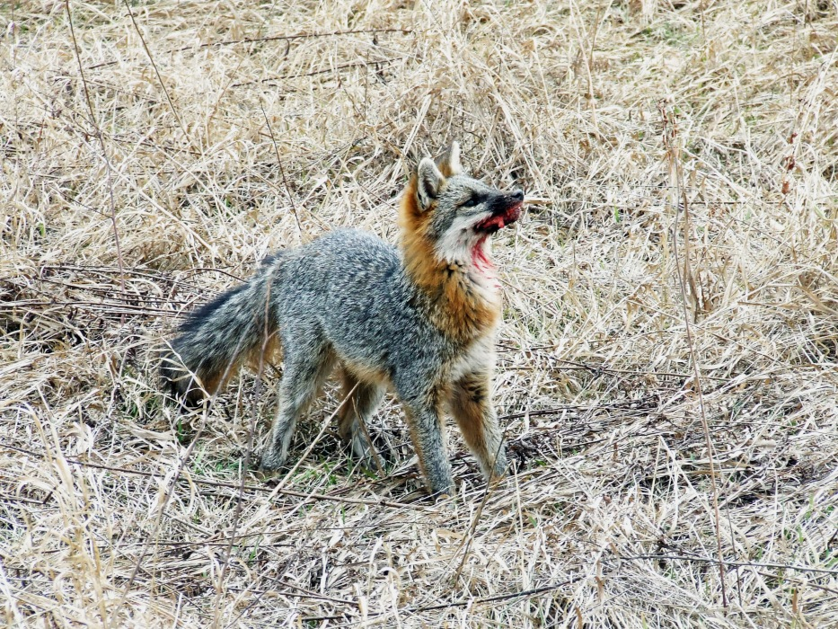 photoblog image rabid fox