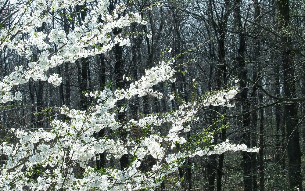 photoblog image cherry blossoms