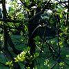 pear tree at sunset