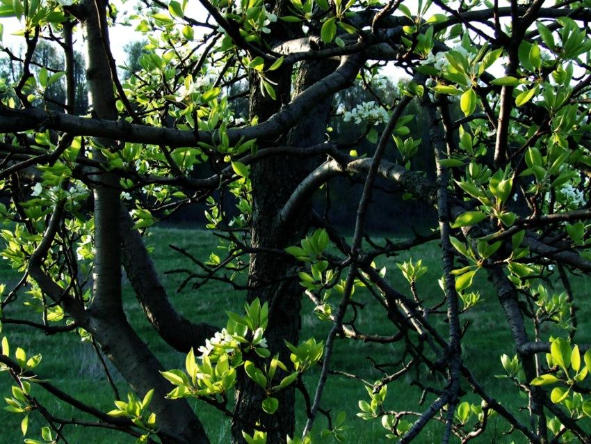 photoblog image pear tree at sunset