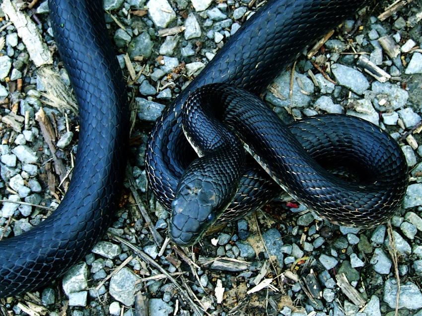 photoblog image black snake