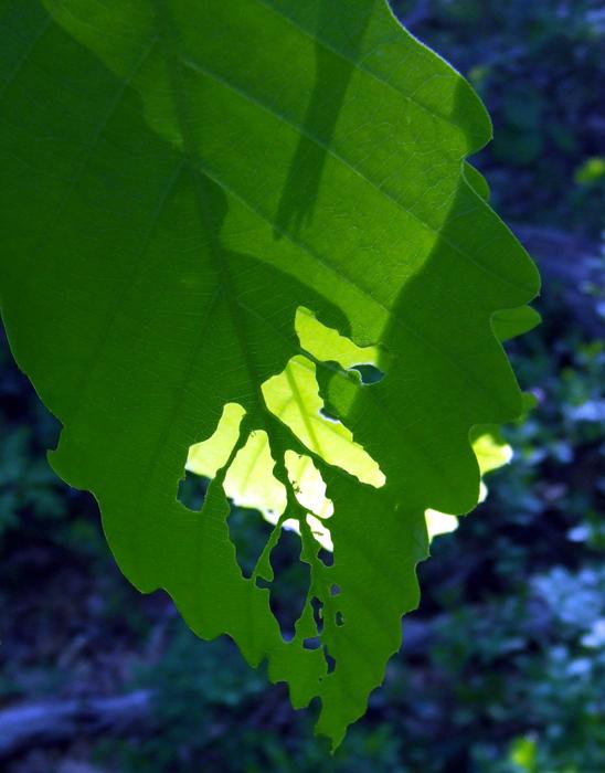 photoblog image oak leaves at sunrise