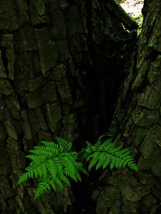 photoblog image woodferns on chestnut oak