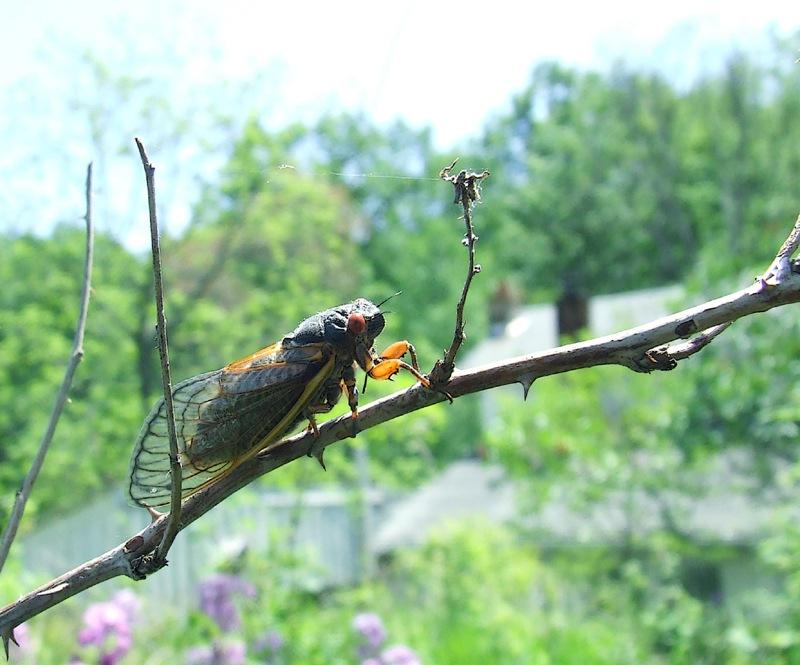photoblog image periodical cicada
