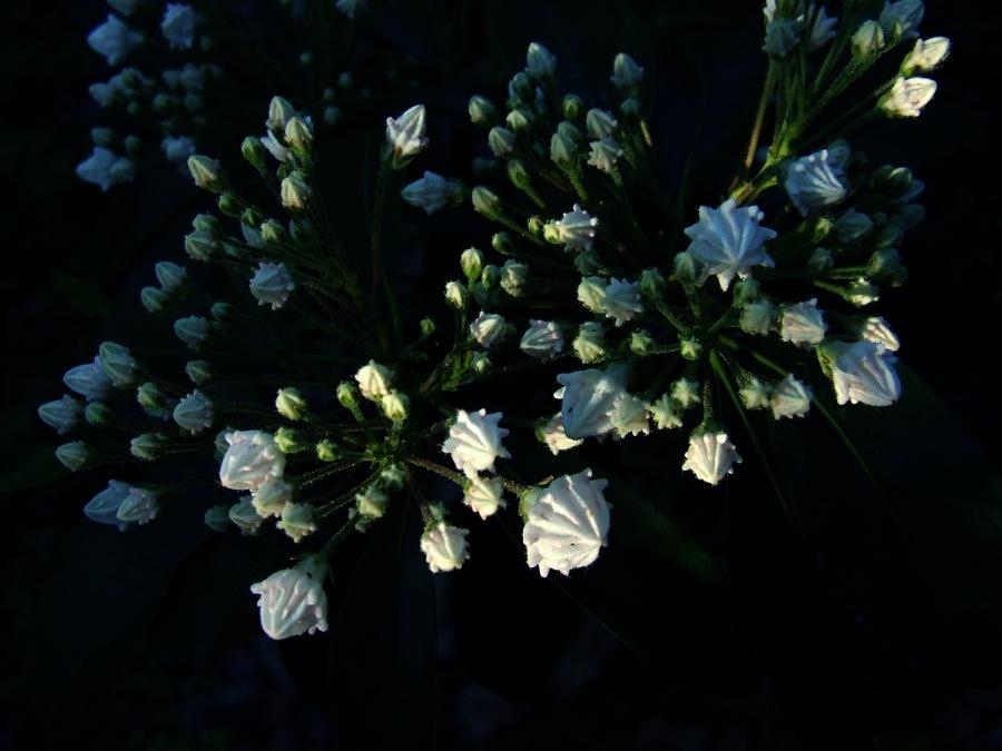 photoblog image mountain laurel buds