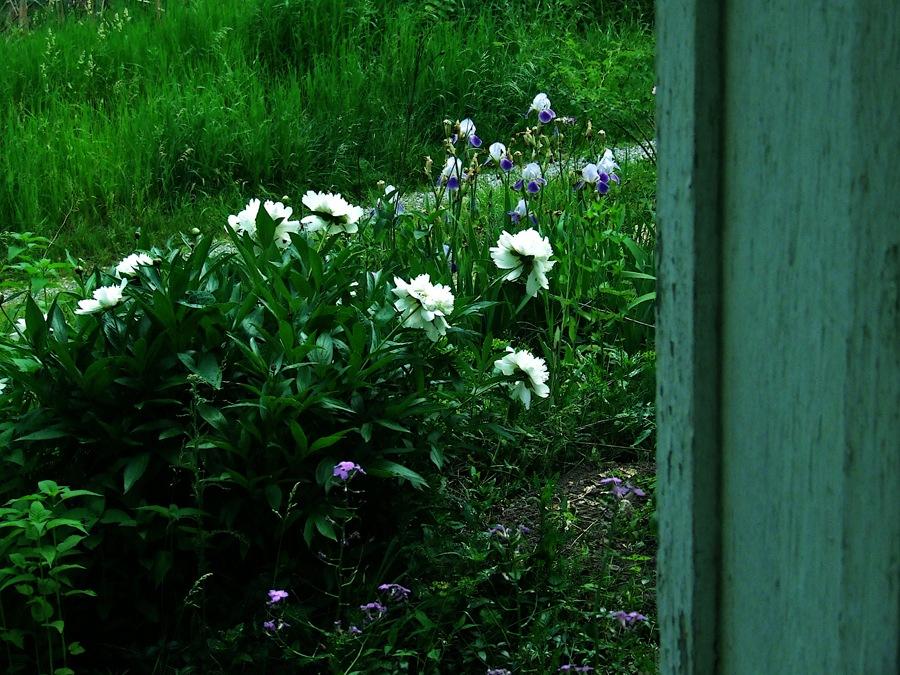 photoblog image peonies