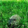 great piece of turf with groundhog