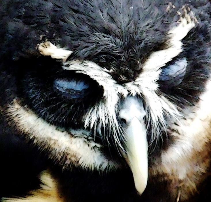 photoblog image spectacled owl