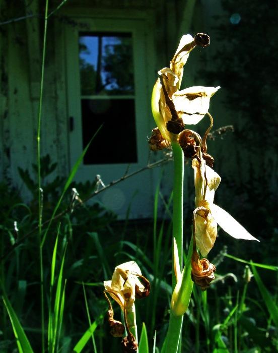 photoblog image dead irises