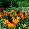 butterfly weed with great-spangled fritillaries