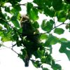 chipmunk in a mulberry tree
