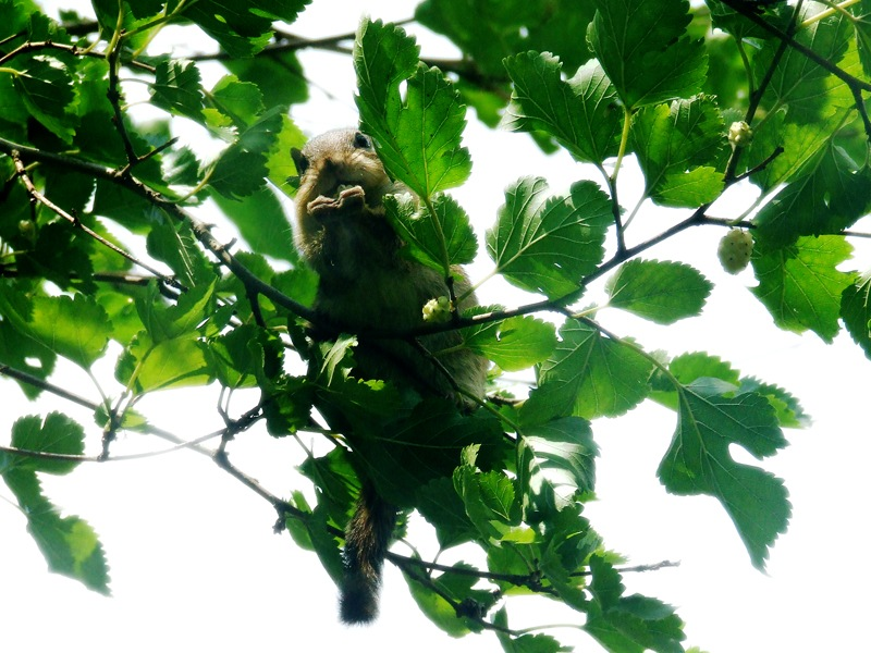 photoblog image chipmunk in a mulberry tree