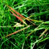 red grass leaves