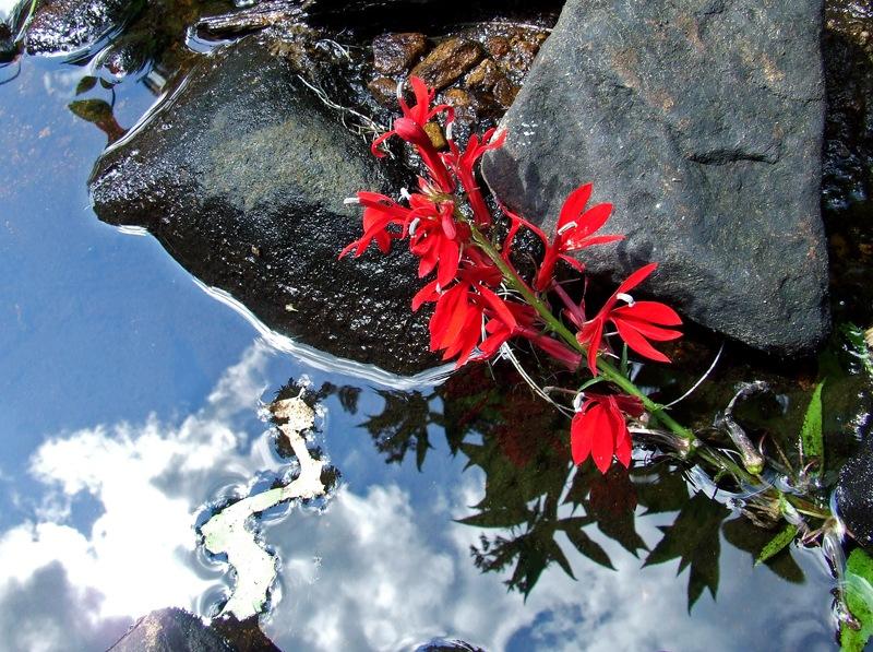 photoblog image cardinal flower and leaf snake