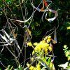 goldenrod and dogbane