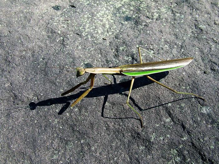 photoblog image mantis stalking its shadow