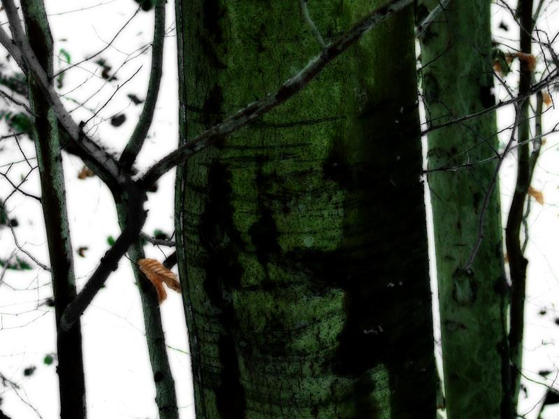 photoblog image beech trees