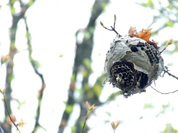 photoblog image wasp nest