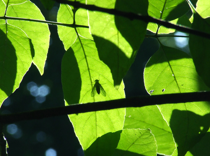 photoblog image fly on ash leaves