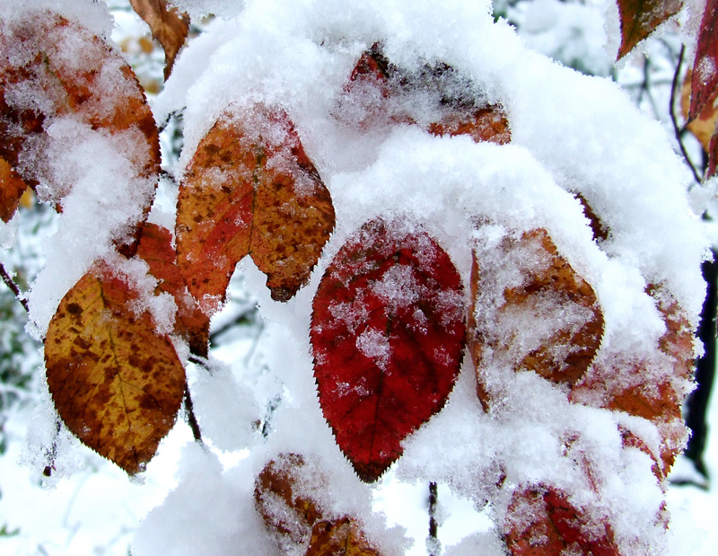 photoblog image October snowstorm (shadbush)