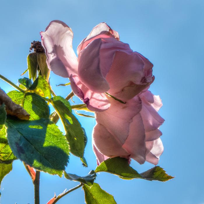 photoblog image Rose