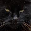 St Dogmaels Cat