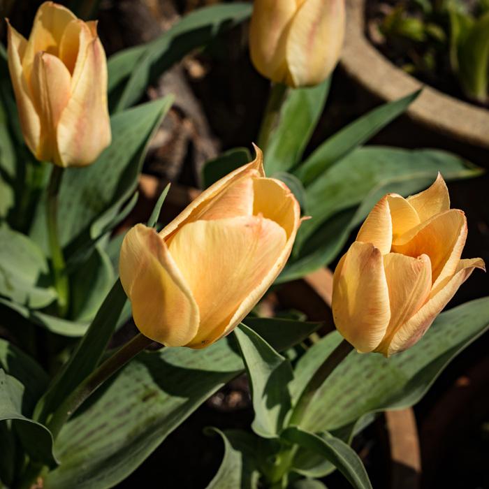 photoblog image Tulips